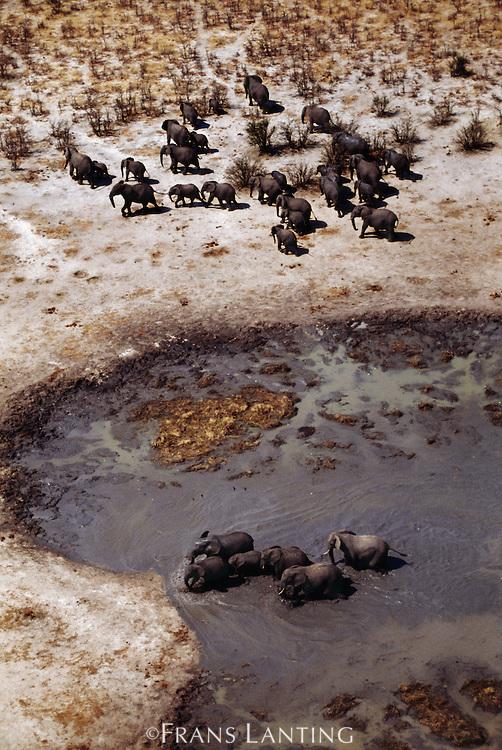 African elephants at dry season waterhole (aerial), Loxodonta africana, Kalahari Desert, Botswana