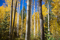 A forest full of Utah's Fall colors on display.