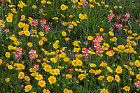 Coreopsis and Inndian Paintbrush, Gonzales County