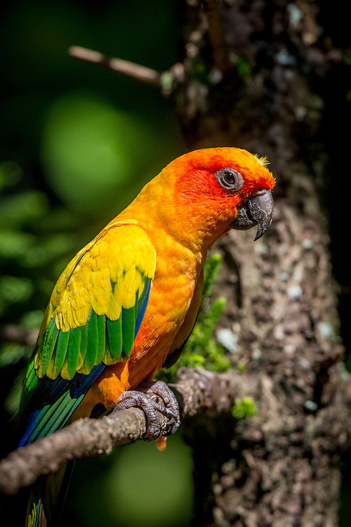 A very colorful parrot from Australia photographed in an wildlife park in Cape Coral, Florida.