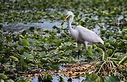 egret,swamp,fish