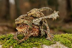 Common european toad {Bufo bufo} two males attempting to mate with one female Solling in the Central German Upland. Solling, Germany | Erkröten-Paar (Bufo bufo) auf der Wanderung zum Laichgewässer - ein weiteres Männchen kommt herbei und kämpft um das Weibchen