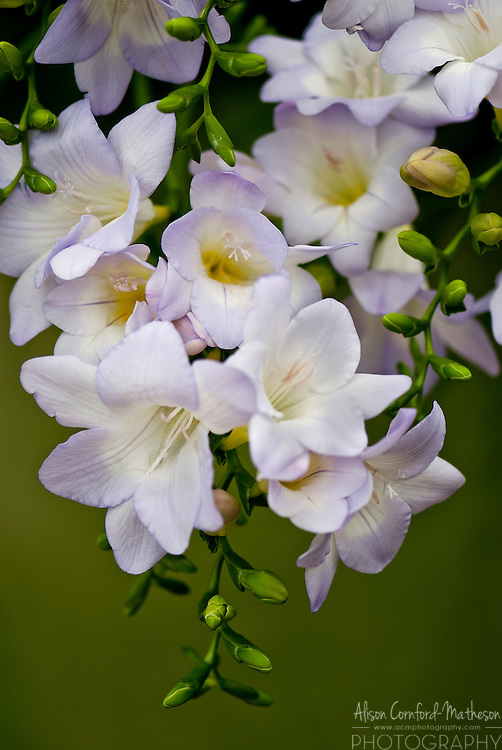 Pale Purple Freesia Flower