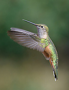 Broad-tailed Hummingbird (female) photographed near Walker Ranch, Boulder Colorado
