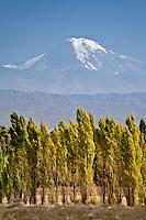ALAMOS EN OTONO Y VOLCAN TUPUNGATO (6550 msnm), RUTA NACIONAL 7, LUJAN DE CUYO, PROVINCIA DE MENDOZA, ARGENTINA