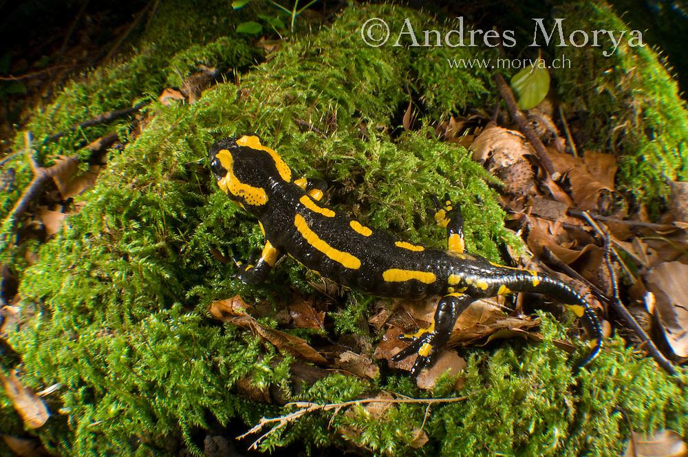 Fire Salamander (Salamandra salamandra), Switzerland Fire Salamander (Salamandra salamandra) in a forest stream, Switzerland Image by Andres Morya