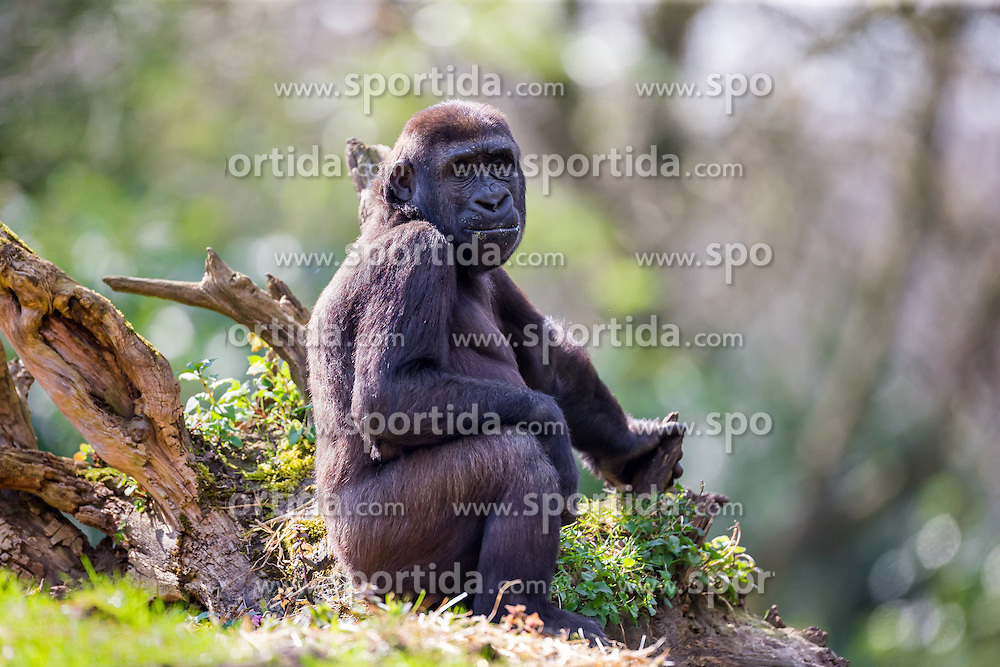 01.04.2016, Zoo, Duisburg, GER, Tiere im Zoo, im Bild Gorillaweibchen sitzt im Gehege // during visit to the Zoo. Duisburg, Germany on 2016/04/01. EXPA Pictures &copy; 2016, PhotoCredit: EXPA/ Eibner-Pressefoto/ Hommes<br /> <br /> *****ATTENTION - OUT of GER*****