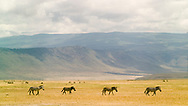 Side view of four zebra in a line in the Ngorongoro Crater, Tanzania.