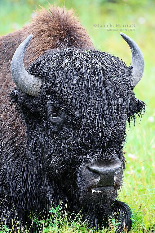 Wood bison, Northwest Territories, Canada