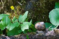 Yellow anemone (Anemone ranunculoides) and snail (Helix aspersa), Matsalu Bay Nature Reserve, Estonia