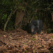 The Asian black bear (Ursus thibetanus) previously known as Selenarctos thibetanus), also known as the moon bear and the white-chested bear, is a medium-sized bear species native to Asia and largely adapted to arboreal life