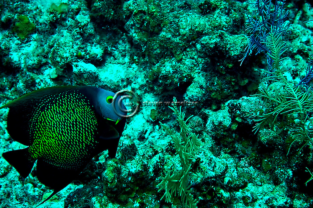 French Angelfish on reef, Pomacanthus paru, (Bloch, 1787), Grand Cayman