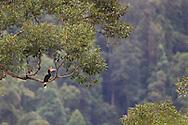 Calao rhinocéros - Rhinoceros Hornbill (Buceros rhinoceros) Aceh, Sumatra