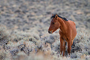 A young California wild horse (wild mustang) stands alone in the Eastern Sierra high desert near the Nevada border.