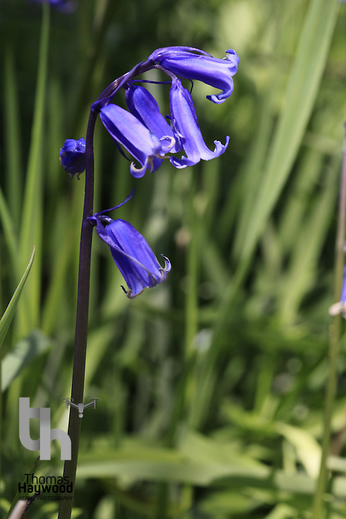Bluebells of Keils Den 11-05-09