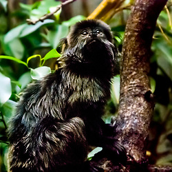 Mico-de-goeldi (Callimico goeldii). Registro feito em 2009. Animal em Cativeiro.<br /> <br /> <br /> ENGLISH: Goeldi's marmoset. Picture made in 2009. Captive animal.