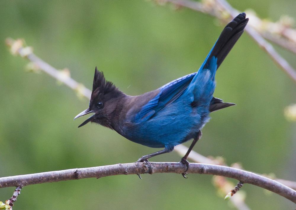 A brilliant blue Stellar's Jay (Cyanocitta stelleri) calls out from an alder branch in the spring near Ketchikan.