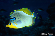 yellowhead butterflyfish, Chaetodon xanthocephalus, gets cleaned by cleaner wrasse, Labroides dimidiatus, Helengeli, Maldives ( Indian Ocean )