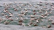 Long-tailed Duck,s Clangula hyemalis, Lake Ontario, Ontario, Canada