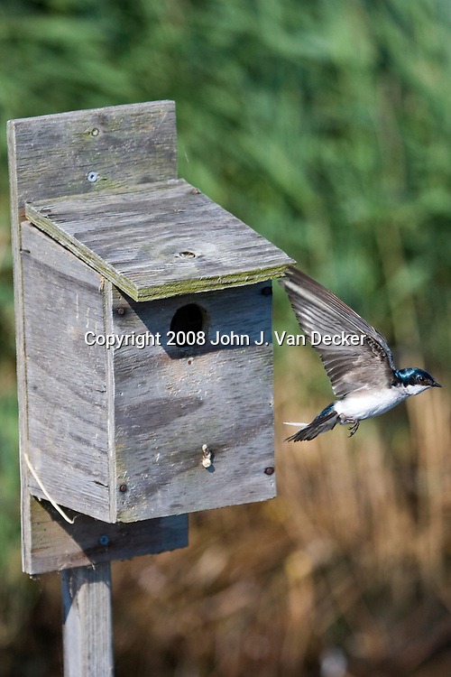 Tree Swallow flying from nesting box