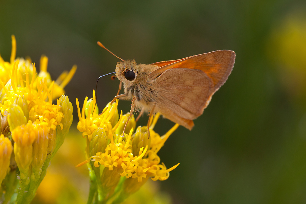 Ochlodes sylvanoides (Woodland Skipper) at San Diego County Rd S1, San Diego Co, CA, USA, on 04-Sep-11