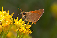 Ochlodes sylvanoides - Woodland Skipper