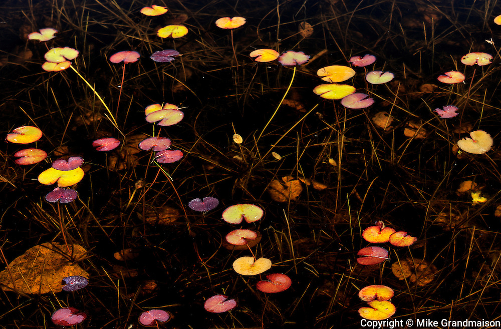 Pattern of water lilies<br /> Port Carling<br /> Ontario<br /> Canada