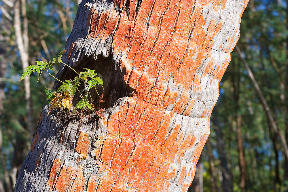 Natural bark patterns and orange coloured lichen on a palm tree in Fiji..