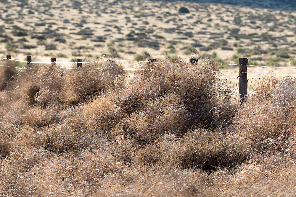Russian thistle, also known as tumbleweed, blown against a fence on the boundary of Grand Canyon National Park, Arizona.