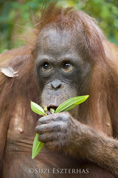 Bornean Orangutan<br /> Pongo pygmaeus<br /> Juvenile (approx. 5 years old) tasting wild food during forest exploration and training program<br /> Orangutan Foundation International's Orangutan Care Center, Borneo, Indonesia
