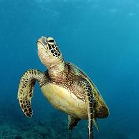 Green Sea Turtle (Chelonia mydas). Underwater in Hanauma Bay, Oahu, Hawaii