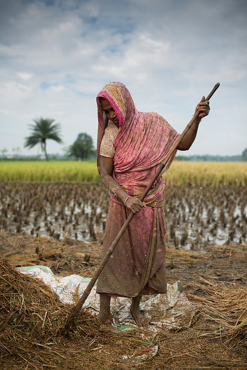 Shukhjan Begum harvesting rice. Rice threshing in the fields of the village of Jogahat, Chunamonhathi, Jessore, Bangladesh.