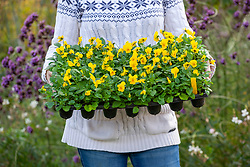 Holding a tray of winter bedding - violas - ready to plant out