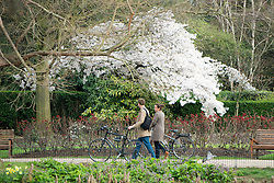 © Licensed to London News Pictures. 19/03/2014. London, UK a couple walk their bicycle past a cherry tree in blossom. People enjoy the sunshine at Regents Park today 19th March 2014. Photo credit : Stephen Simpson/LNP