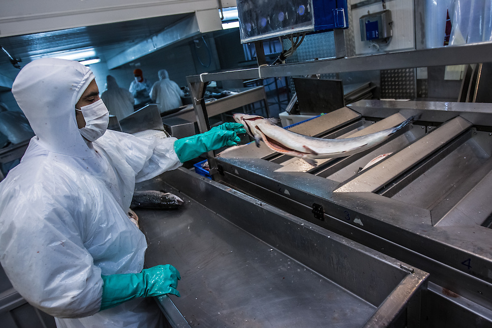 PUERTO MONTT, CHILE - MARCH 13, 2014: Workers process industrially farmed salmon to be shipped at the AquaChile processing plant in Puerto Montt. AquaChile is the largest exporter of salmon in Chile. PHOTO: Meridith Kohut for The World Wildlife Fund