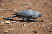 Grey Go-Away Bird feeding on Marula Fruit, Satara, Kruger National Park, Limpopo, South Africa,