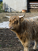 A Highland Cow standing in its pen, Fitchburg, Wisconsin, USA