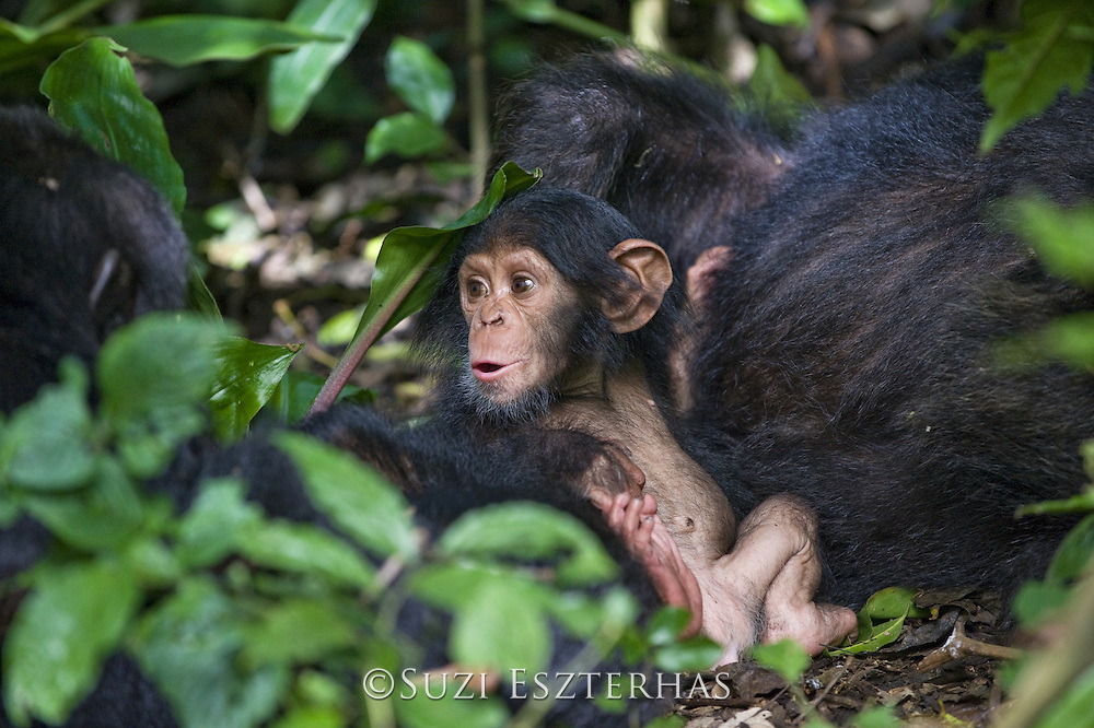 Chimpanzee<br /> Pan troglodytes<br /> Three month old infant<br /> Tropical forest, Western Uganda