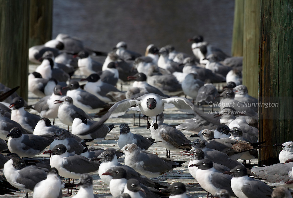 Laughing Gull taking flight from a flock of its peers