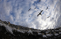 Gannet (Morus bassanus) Colony, Bass Rock, Firth of Forth, Scotland