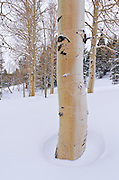 Fresh powder on bare aspens, Ansel Adams Wilderness, Sierra Nevada Mountains, California
