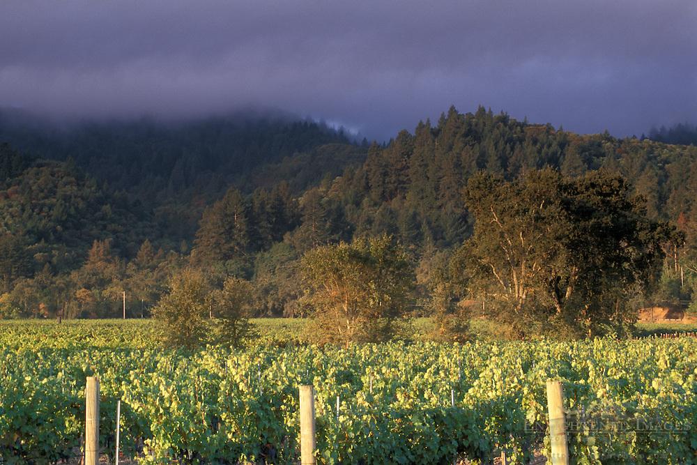 Vineyard at sunrise in Napa Valley, near St. Helena, Napa County, California