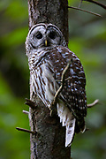 A barred owl (Strix varia) looks out from its perch in dense forest in Edmonds, Washington. Barred owls feed mainly on small mammals, but will also prey upon other birds, reptiles, invertibrates and amphibians if the opportunity presents itself.