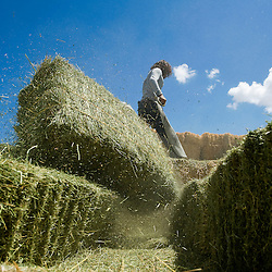 081811       Brian Leddy.Nick Esquivel unloads hay at Pete Bob Hay Sales in Ganado Friday. Esquivel and his family have run the business for almost two years.