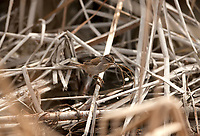 An adult female Marsh Wren gathers small wet sticks to line the inside of its nest.