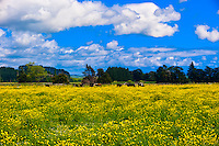 Rapeseed fields, Waiaruhe, North Island, New Zealand