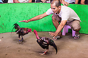 11 JANUARY 2014 - BANGKOK, THAILAND:  A fight official pushes fighting cocks together during a bout in Bangkok. Cockfighting dates back over 3,000 years and is still popular in many countries throughout the world today, including Thailand. Cockfighting is legal in Thailand. Unlike some countries, Thai cockfighting does not use artificial spurs to increase injury and does not employ the 'fight to the death rule'. Thai birds live to fight another day and are retired after two years of competing. Cockfighting is enjoyed by over 200,000 people in Thailand each weekend at over 75 licensed venues. Fighting cocks live for about 10 years and only fight for 2nd and 3rd years of their lives. Most have only four fights per year. Most times the winner is based on which rooster stops fighting or tires first rather than which is the most severely injured. Although gambling is illegal in Thailand, many times fight promoters are able to get an exemption to the gambling laws and a lot of money is wagered on the fights.    PHOTO BY JACK KURTZ