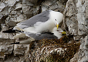 Black-legged Kitti Wake (Rissa tridactyla) nesting in the bird cliff at Vestre Burgerbukta, Hornsund, south-western Spitsbergen, Svalbard.
