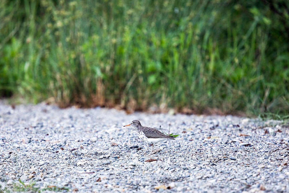 A Spotted Sandpiper (Actitis macularius) after attempting to lead me away from its young in Sasquatch Provincial Park.  I did not approach after I saw the baby sandpipers and sat down.  This photograph was made after the adult came back a few minutes later and seemed to resume normal activities.
