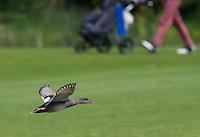 SPIJK - Eend vliegt over  The Dutch golfbaan . COPYRIGHT KOEN SUYK